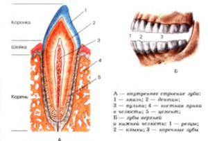 Фото: Строение челюсти