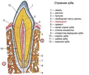 Фото: Строение зуба